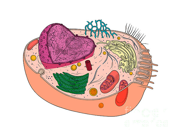 Animal Cell Diagram Print by Science Source