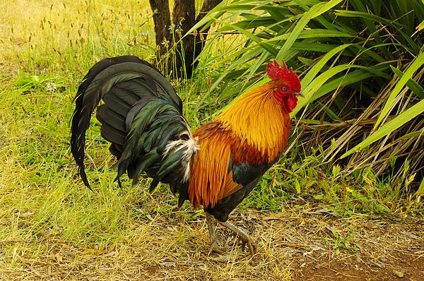 Another Rooster Print by John  Greaves