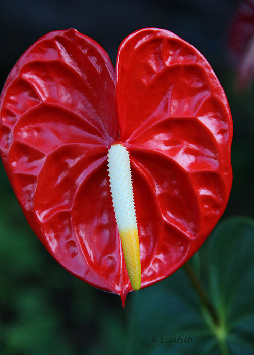 Kerri Ligatich - Anthurium