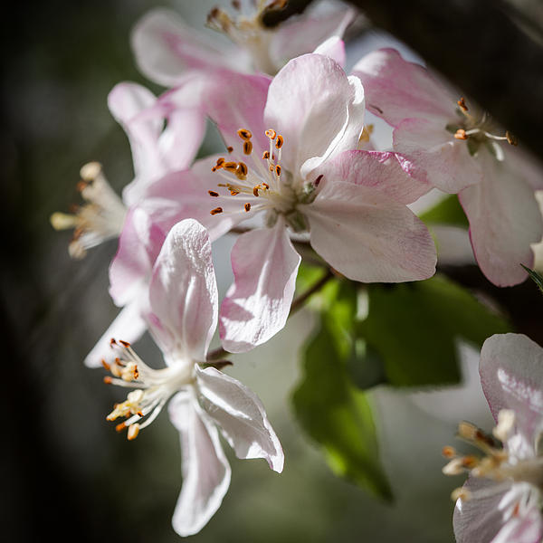 Apple Blossom Photograph