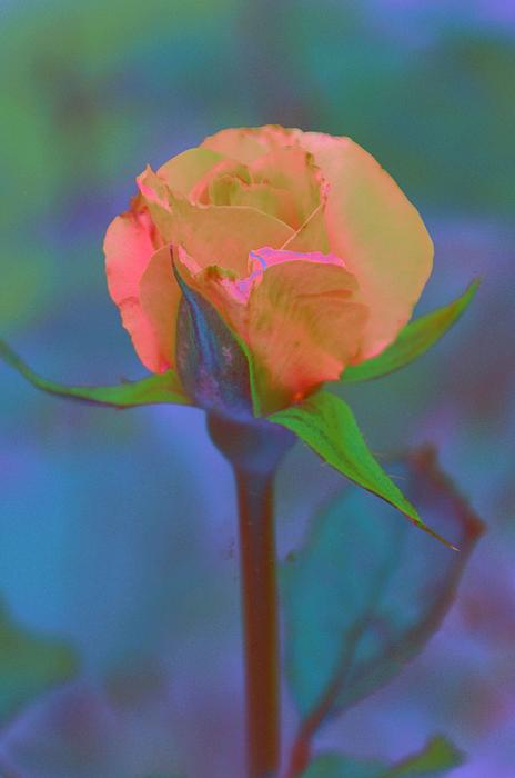 Jan Amiss Photography - Apricot Rose