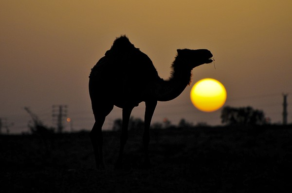 Arabian Camel Print by Photostock-israel