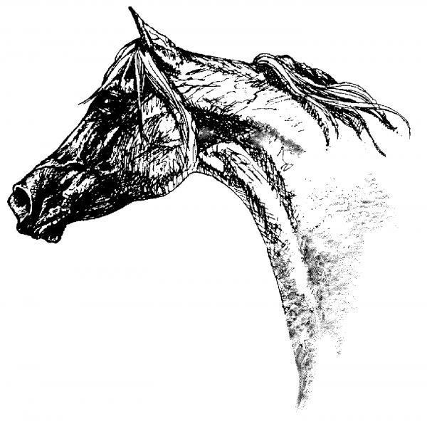 Arabian Horse Head Study Drawing Pam Froemke
