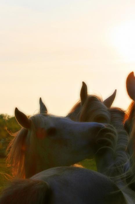 Arabian Mares Sunset Print by El Luwanaya Arabians