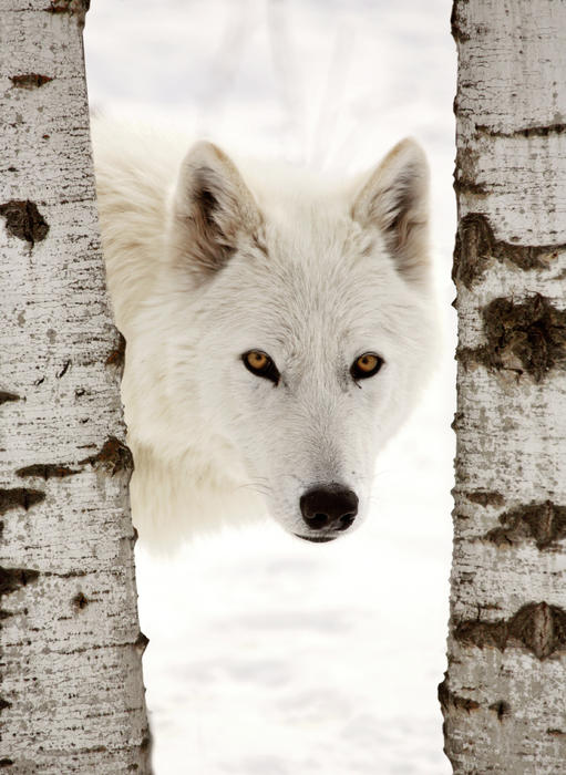 Arctic Wolf Seen Between Two Trees In Winter Print by Mark Duffy