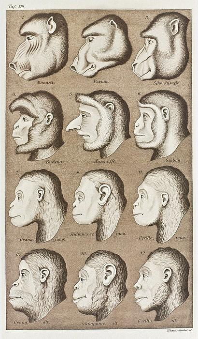 Artwork Of Twelve Catarrhines, 1870 Print by Mehau Kulyk