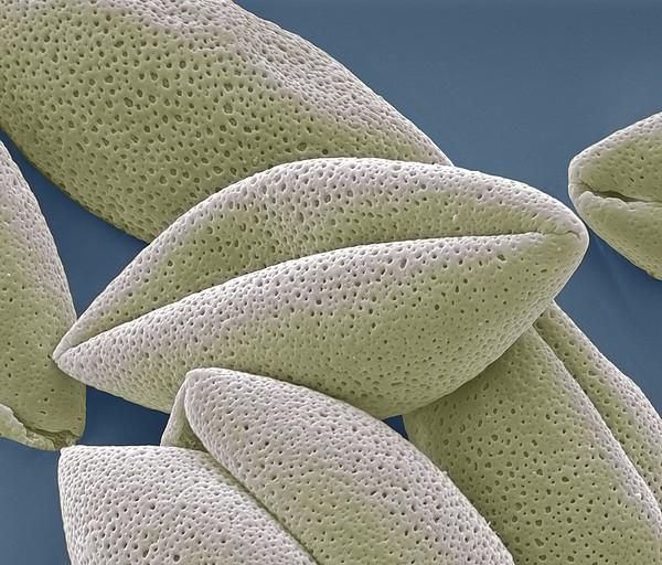Asparagus Pollen Grains, Sem Print by Steve Gschmeissner