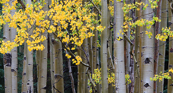 Aspen Gold Print by Adam Pender