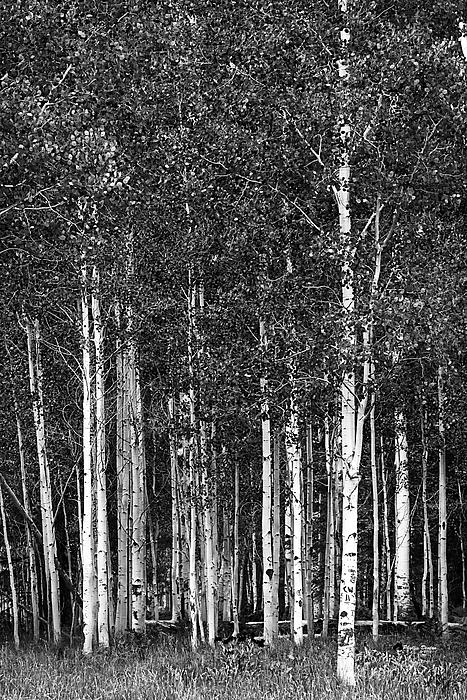 Phyllis Denton - Aspen Grove Black And White