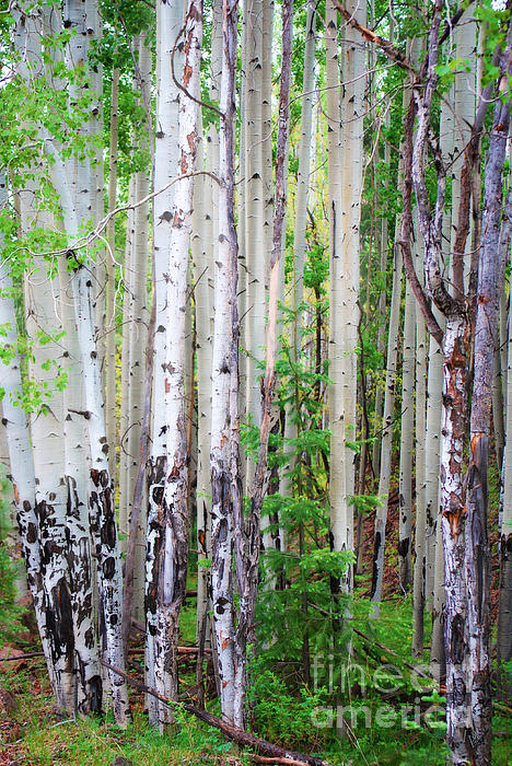 Donna Van Vlack - Aspen Grove in the White Mountains