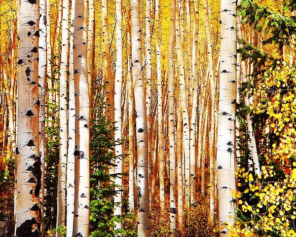 Terril Heilman - Aspen Grove
