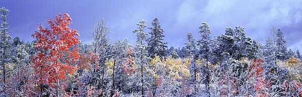 Aspens In Fall With Snow, Near 100 Mile Print by David Nunuk