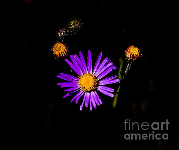 Mitch Shindelbower - Aster 2