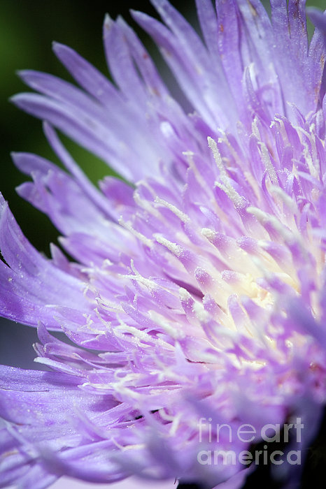 Aster Bloom Print by Jeannie Burleson