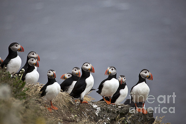 Atlantic Puffins On Cliff Edge Print by Greg Dimijian