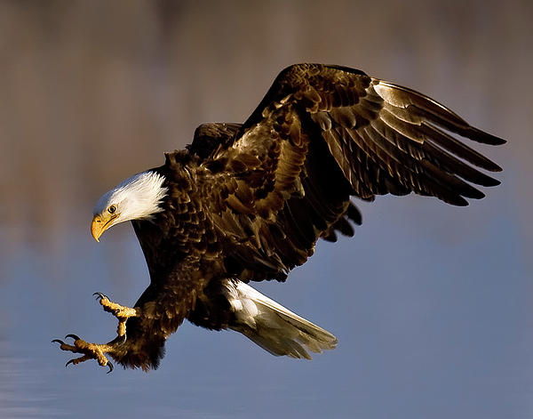 Brent Paull - Attacking Bald Eagle