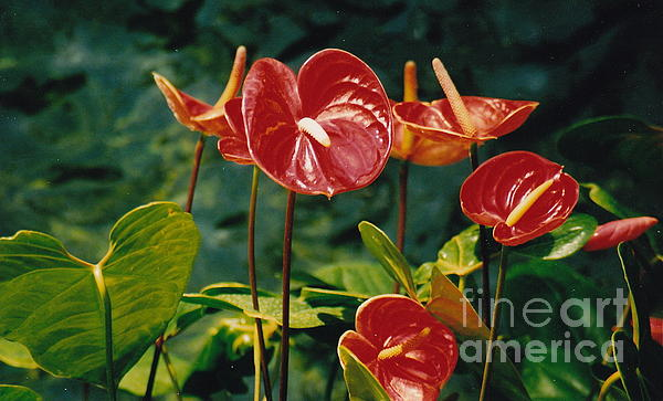 Barbara Plattenburg - Attention Anthuriums