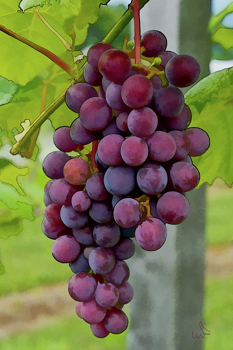 August Grapes Print by Michael Flood