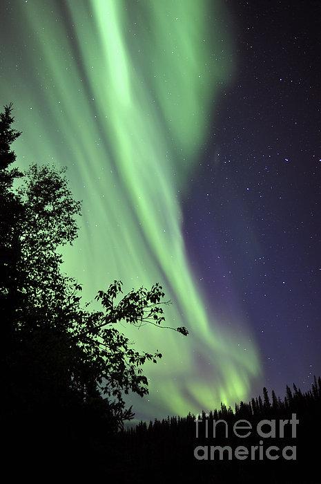 Aurora Borealis Above The Trees Print by Jiri Hermann