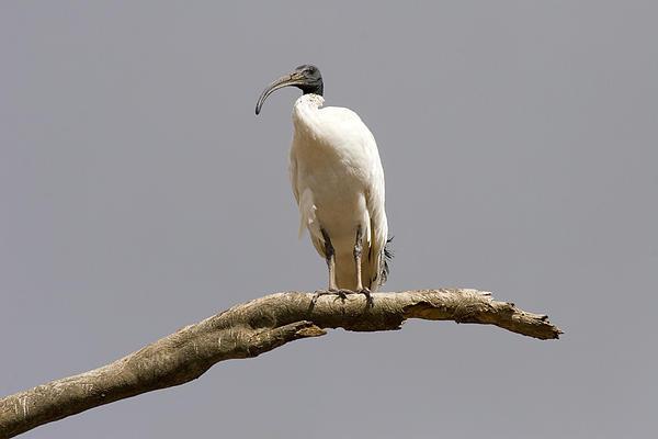 Australian White Ibis Perched Print by Mike  Dawson