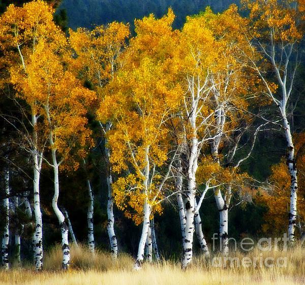 Barbara Henry - Autumn Aspen Grove