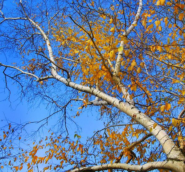 Debbie Edwards - Autumn Birch