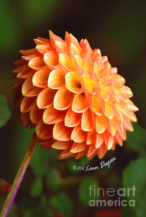 EGiclee Digital Prints - Autumn Fire Dahlia