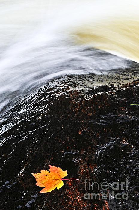 Autumn Leaf On River Rock Print by Elena Elisseeva