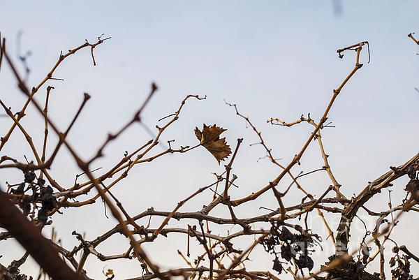 Autumn Leaf Print by Saajid Abuluaih