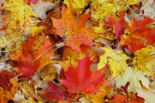 Aimee L Maher Photography and Art - Autumn Leaves