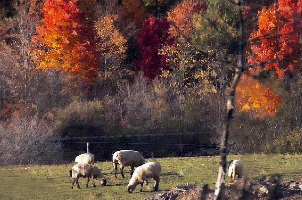 Cheryl Cencich - Autumn sheep