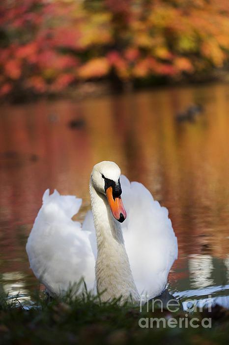 Autumn Swan Print by Leslie Leda