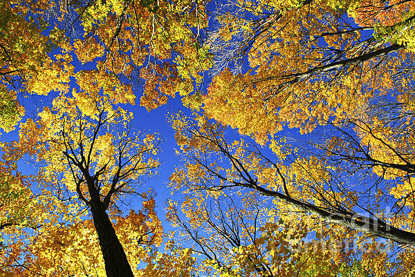 Autumn Treetops Print by Elena Elisseeva