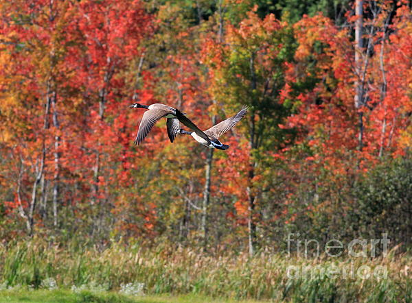 Autumn Vermont Geese And Color Print by Deborah Benoit