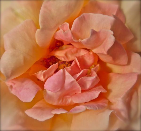 Autumns Rose Print by Gwyn Newcombe