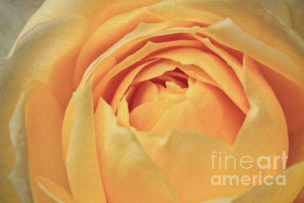 Awakening Yellow Bare Root Rose Print by Ryan Kelly