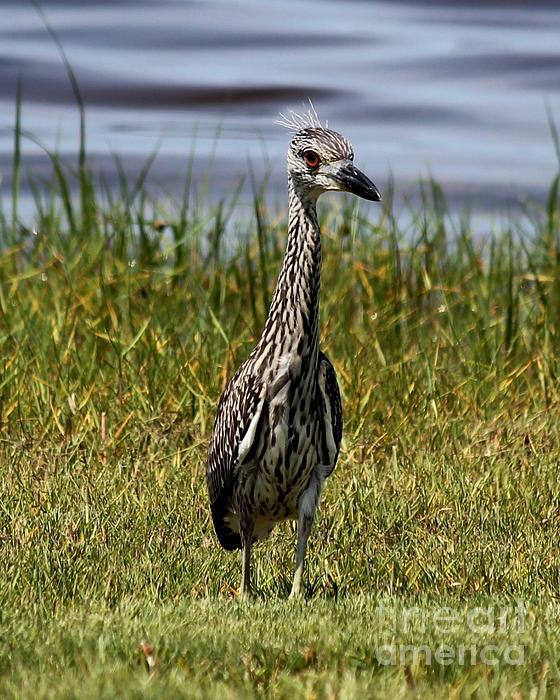 Black crowned night heron baby - photo#14