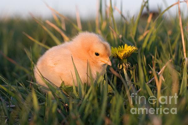 Baby Chick In Green Grass Print by Cindy Singleton