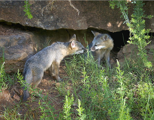 Baby gray foxes - photo#26