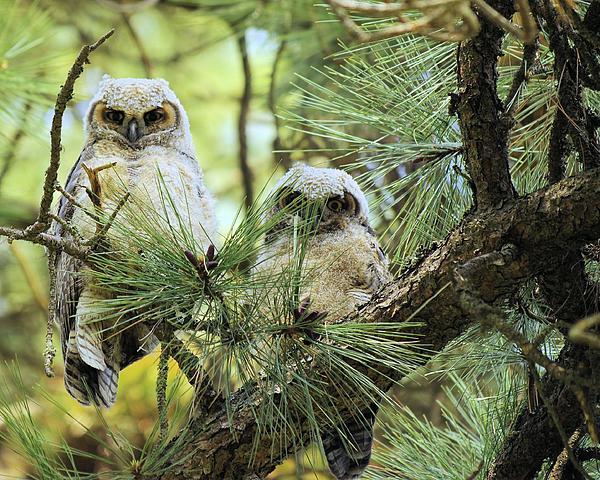 John  Greaves - Baby Owls