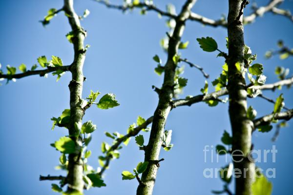 Baby Spring Tree Leaves 01 Print by Ryan Kelly