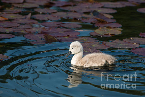 Baby Swan Print by Andrew  Michael
