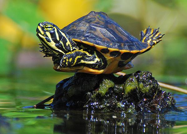 Baby Turtle Planking Print by Jessie Dickson