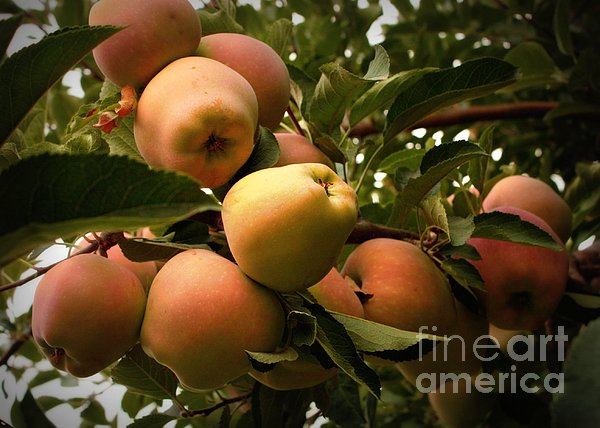 Backyard Garden Series - Apples Cluster Print by Carol Groenen