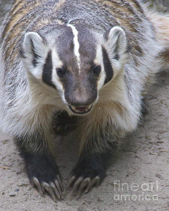 Badgered Badger Print by Sean Griffin