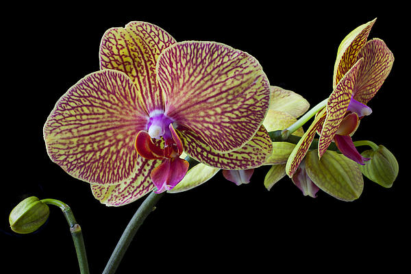 Baeutiful Orchids Print by Garry Gay