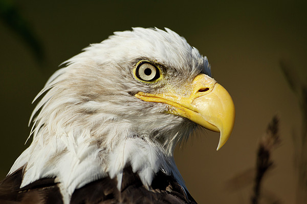 Bald Eagle, Alaska Print by Paul Souders