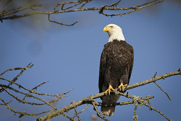 Bald Eagle Print by Bruce McCammon