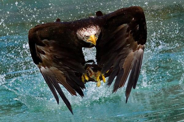Dean Bertoncelj - Bald eagle in flight