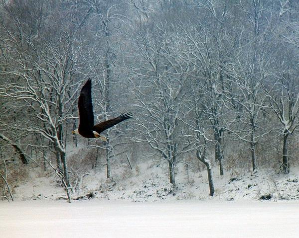 Penny Meyers - Bald Eagle in Flight